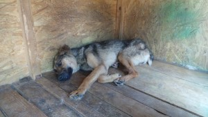 Laila vor ihrer Rettung Foto: Film Hundeleben