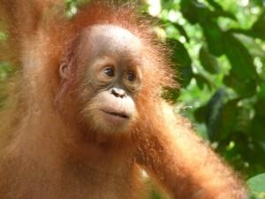 Foto: Citrawan ©SOCP auf Sumatra